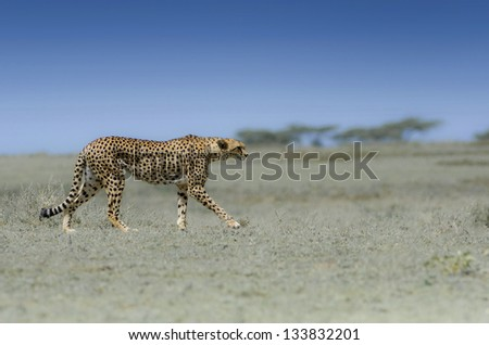 Wild african cheetah with blue sky background