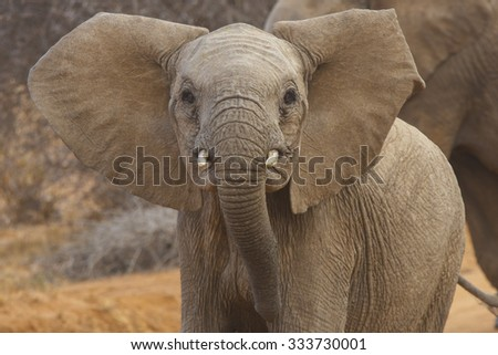 Wild African Elephant - stock photo