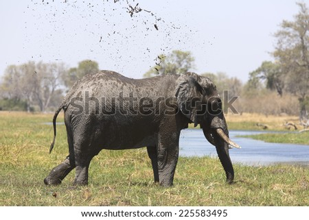 Wild african elephant bull mud-showering - stock photo