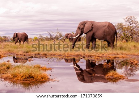 Wild African elephant herd feeding in the savannah - stock photo