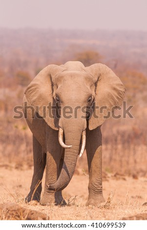 Wild african Elephant in an open savannah - stock photo