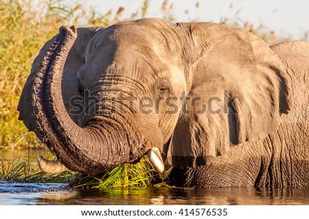 Wild African elephant swimming in a waterhole - stock photo