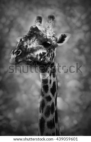 Wild African giraffe in black and white - stock photo