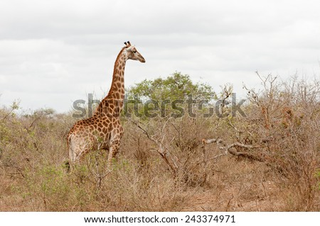 Wild African giraffe in savanna trees, Kruger Park, South Africa  - stock photo