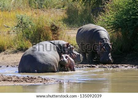 Wild african hippo pod - stock photo