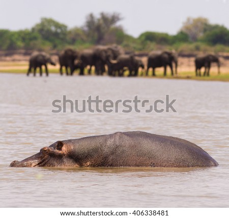 Wild African Hippo with elephants in the background - stock photo