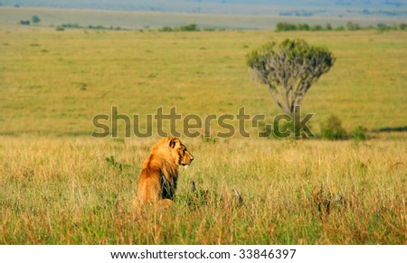 Wild african lion. Africa. Kenya. Masai Mara - stock photo