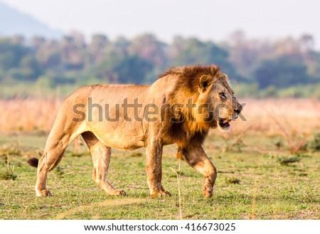 Wild African Lion walking across the savannah - stock photo