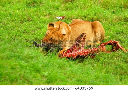 Wild African lioness eating wildebeest. Africa. Kenya. Masai Mara - stock photo
