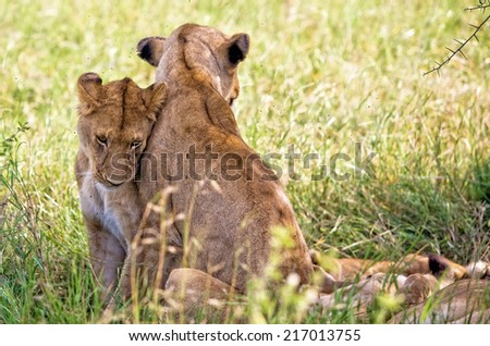 Wild african lionesses in the Serengeti National Park, Tanzania - stock photo