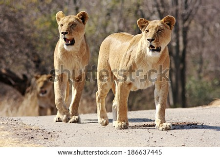 Wild african lions - stock photo