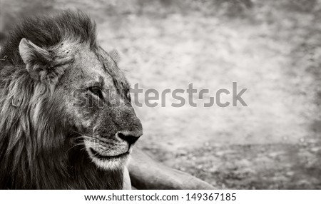 Wild African Male Lion resting with space for text - stock photo