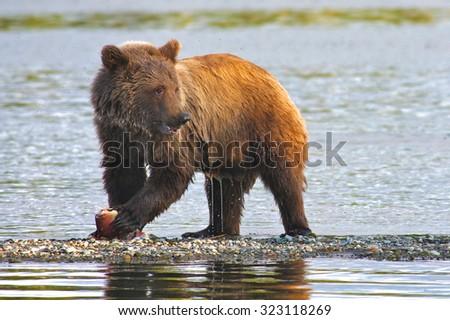 Wild Alaskan brown bear - stock photo