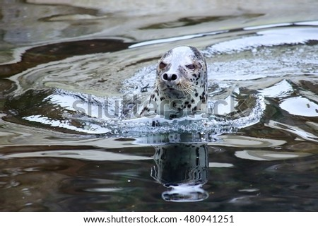 Wild Alaskan harbor seal