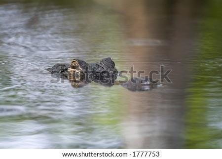 Wild  alligator swimming down a Florida river - stock photo