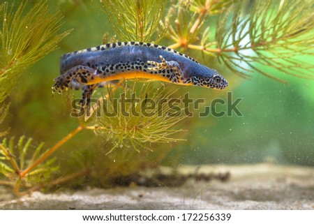 Wild Alpine Newt, Ichthyosaura alpestris, formerly Triturus alpestris and Mesotriton alpestris in a Natural Habitat Setting - stock photo