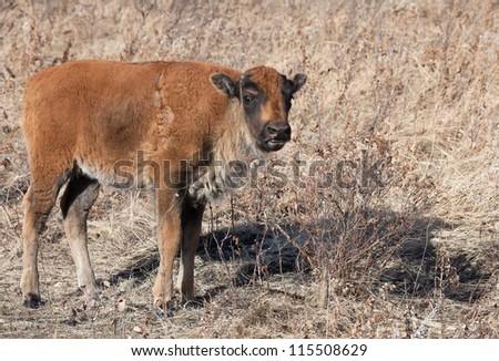 Wild american bison calf.  Autumn in Riding Mountain National Park, Manitoba, Canada - stock photo