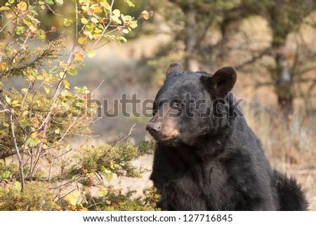 Wild American Black Bear - stock photo