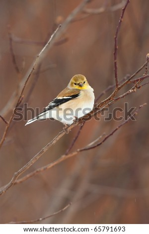 Wild American Goldfinch Male in Winter ( non-breeding ) Plumage.  Bird is perched on a branch with little snow flakes on Feathers. - stock photo