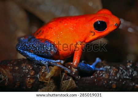 Wild and colourful Strawberry Poison Dart Frog in Costa Rican rainforest.