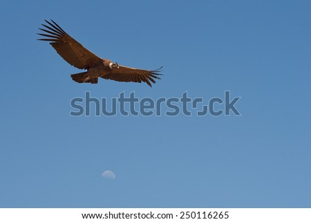 Wild Andean Condor (Condor Vultur gryphus) flying against a blue sky in the mountains near Santiago in Chile - stock photo