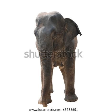 wild animal elephant isolated on white - stock photo
