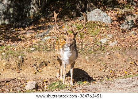Wild animals in the Rocky Mountains of Canada. Adorable spotted deer came to the edge of the forest on a sunny day - stock photo