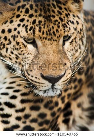 Wild animals: Portrait of leopard. Artistic shallow DOF - stock photo