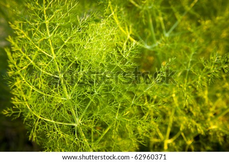 Wild aniseed in lush green branches with shallow depth of field