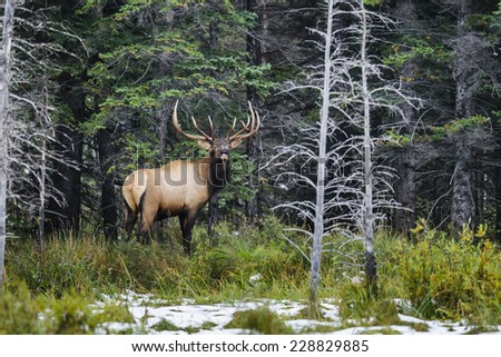 Wild Antlered bull elk during rutting season, Banff National Park Alberta Canada - stock photo