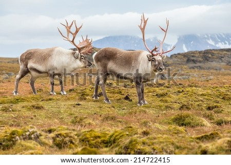 Wild Arctic reindeer in natural environment - stock photo