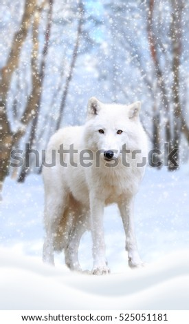 Wild arctic wolf in nature. Winter time
