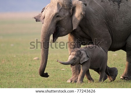 Wild Asian elephant female and baby, Corbett National Park, India - stock photo