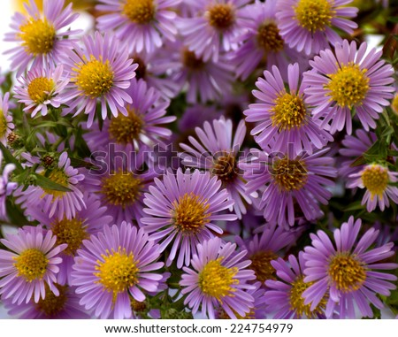 Wild asters. Michaelmas daisies (botanical name: Aster novi-belgii or Symphyotrichum novi-belgii), also known as New York asters and alpine asters (Aster Alpinus).  Asteraceae. - stock photo
