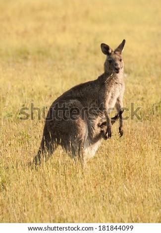 Wild Australian female kangaroo (eastern gray kangaroo - Macropus giganteus) with a joey in pouch - stock photo