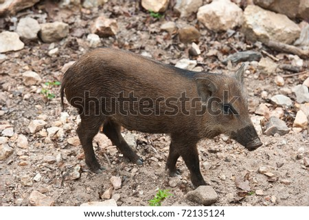 Wild baby boar - stock photo