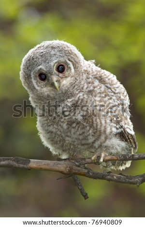 Wild baby Tawny owl sitting on a branch - stock photo