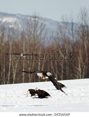 wild bald eagles hunting - stock photo