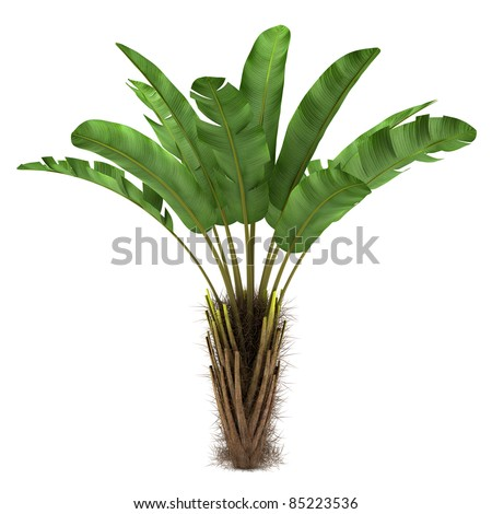 wild banana palm tree isolated on white background - stock photo
