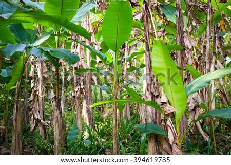 Wild banana tree plantation in Thailand, view from below - stock photo