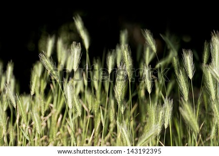 Wild barley grass; hare barley or common foxtail weed; isolated on black ground; excellent copy space  - stock photo