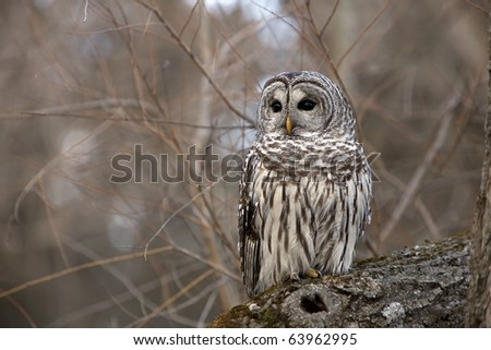 Wild Barred Owl perched on a log in Ontario, Canada. - stock photo