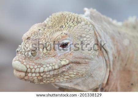 Wild Barrington land iguana or Santa Fe land iguana (Conolophus pallidus) , Galapagos, Ecuador - stock photo