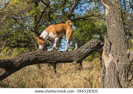 Wild basenji strolling on a broken tree branch in search of food at sunny day
