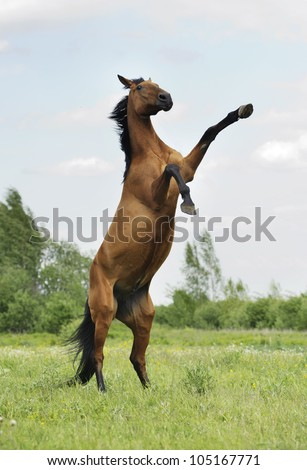 wild bay horse rearing in the field - stock photo