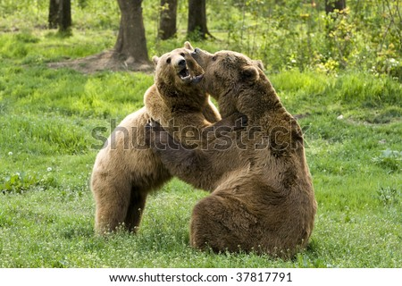 WILD BEARS EMBRACING  - stock photo
