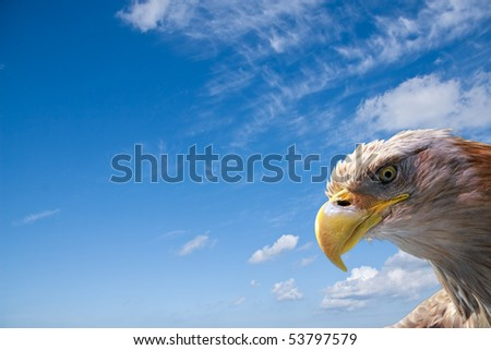 wild beautiful eagle head in front of a blue sky with room for your text - stock photo