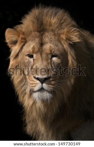 Wild beauty of a young Asian lion. Sunlit face and splendid mane of the King of beasts. Calm greatness of the most dangerous predator of the world. - stock photo