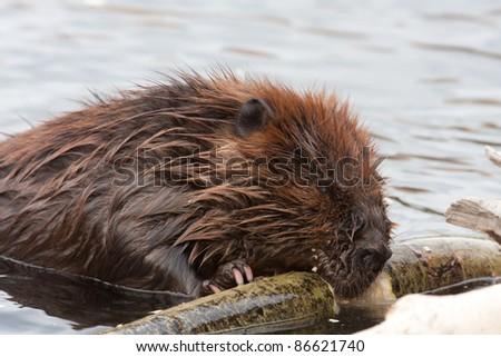 Wild beavers at Horseshoe Lake Denali national park Alaska North America - stock photo