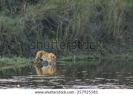 Wild bengal tiger in Bardia, Nepal ; specie Panthera tigris - stock photo